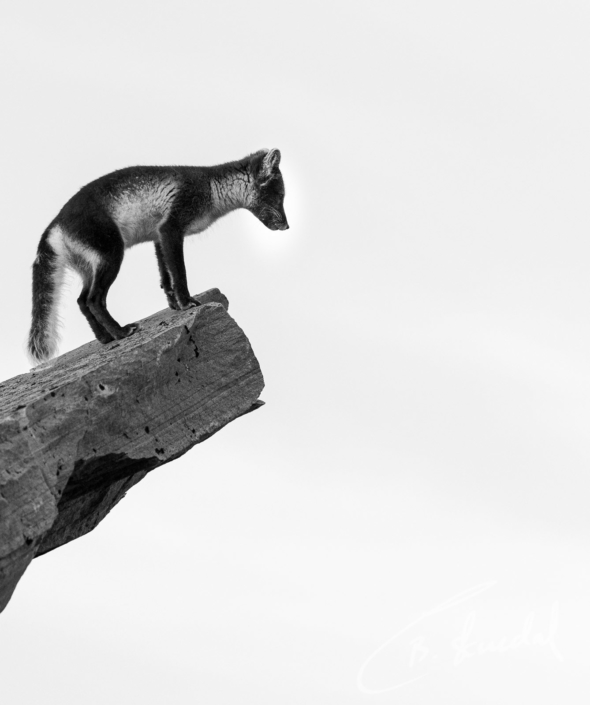 Fox-cliff