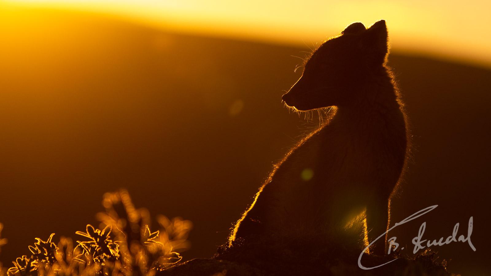 Sunrise arctic fox