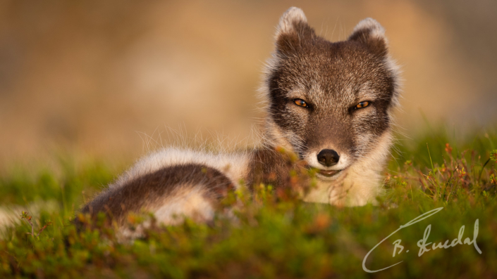 Golden fox mum