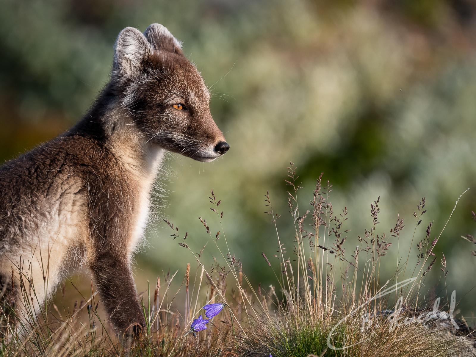 Arctic fox in green