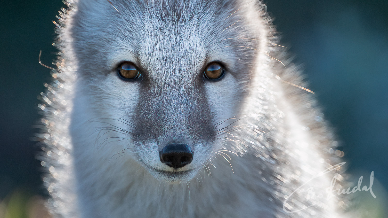 Arctic Fox close-up