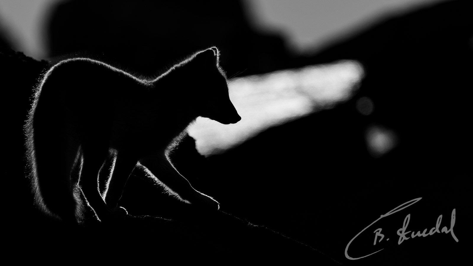 Arctic Fox spotlight