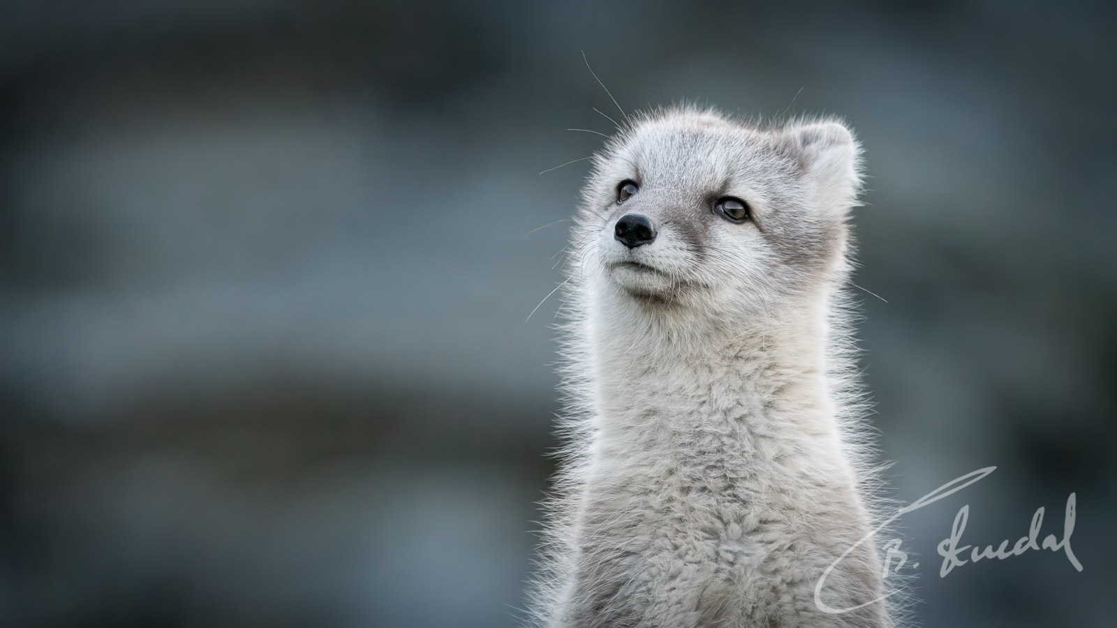 Disapproving fox
