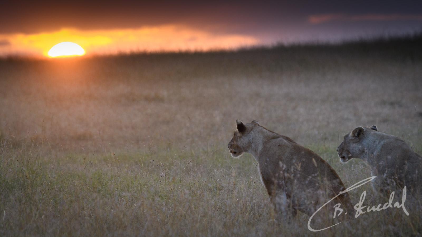 Lionesses in sunrise