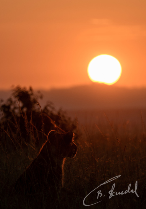 Lion Cub in Sunrise