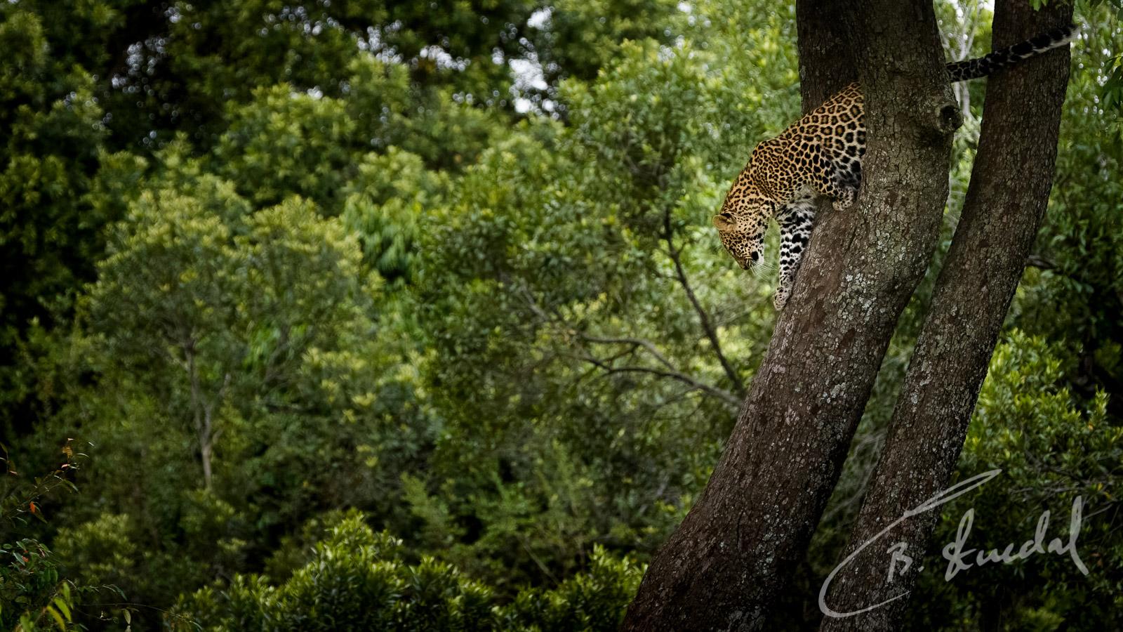 Leopard descent