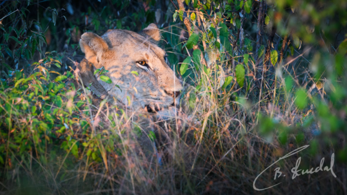 Lioness in sunset