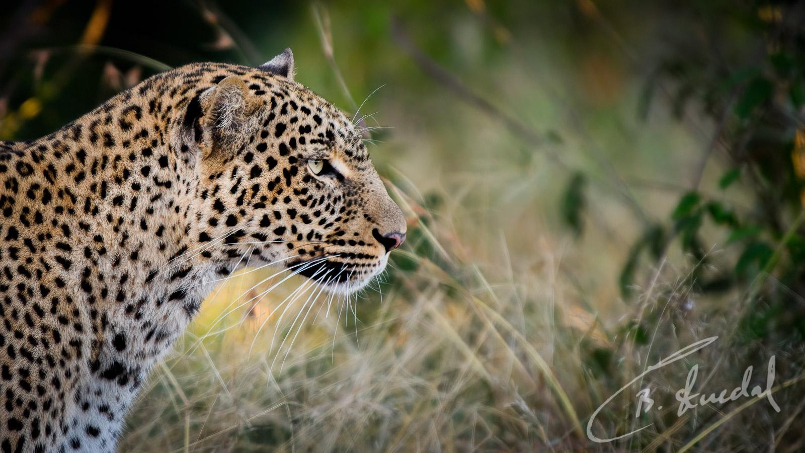 Leopard side profile