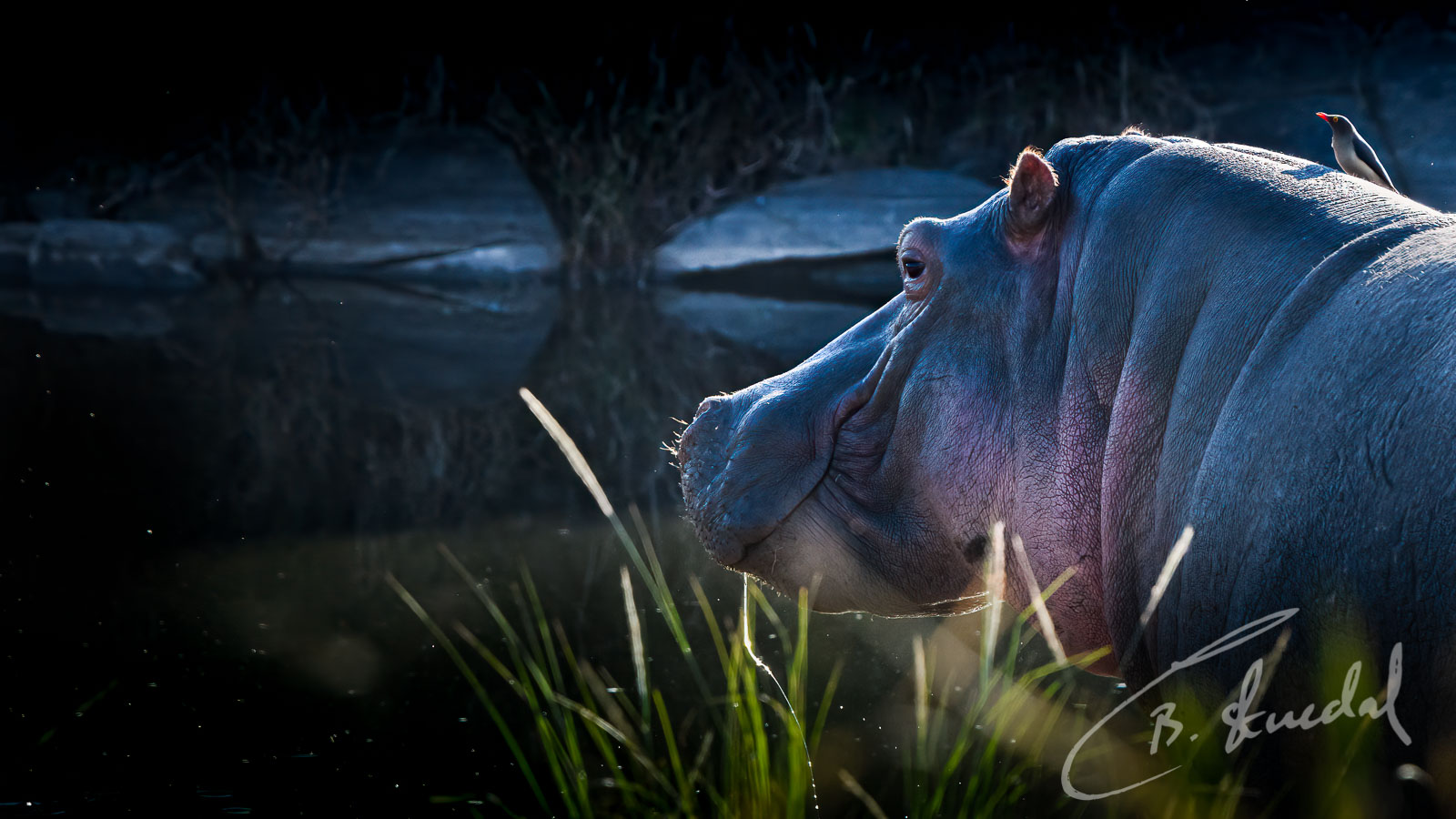 Hippo with friend