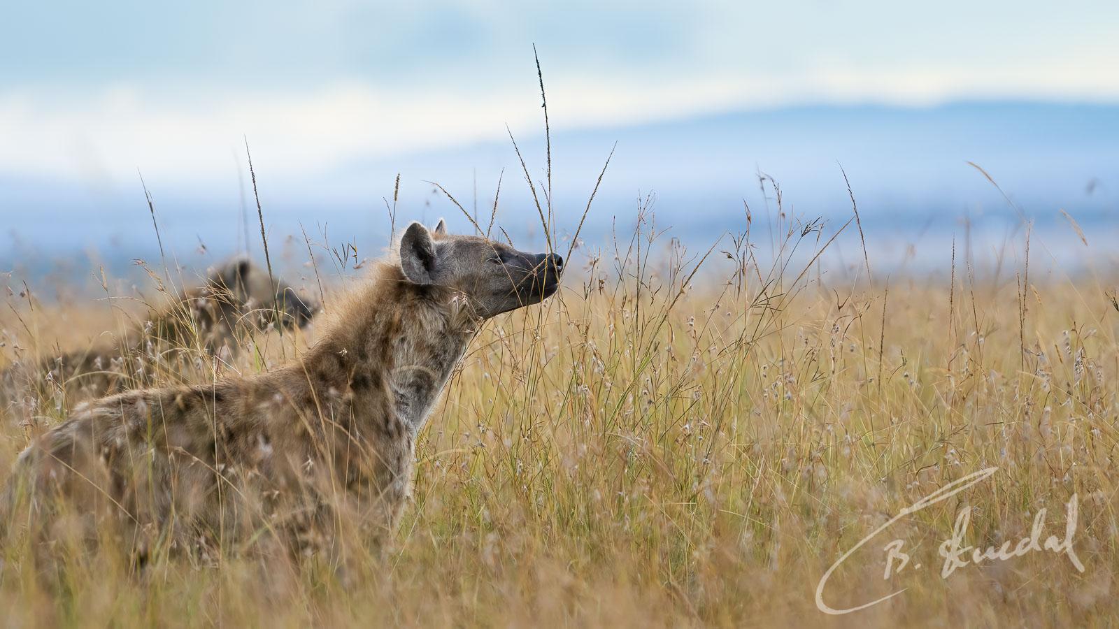 Dramatic hyenas