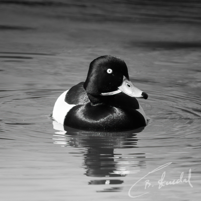 Tufted duck with stick