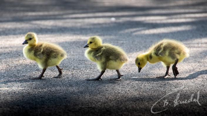 Abbey Goslings