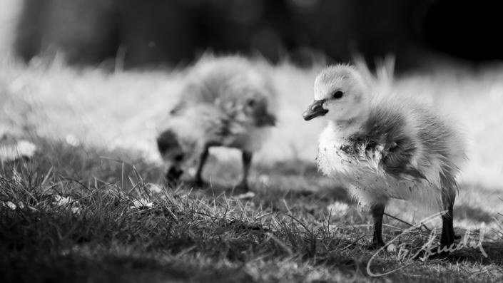 Goslings in b&w