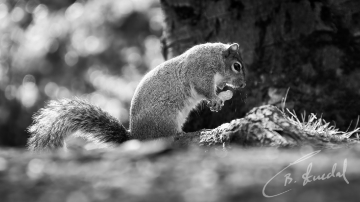 Squirrel concert