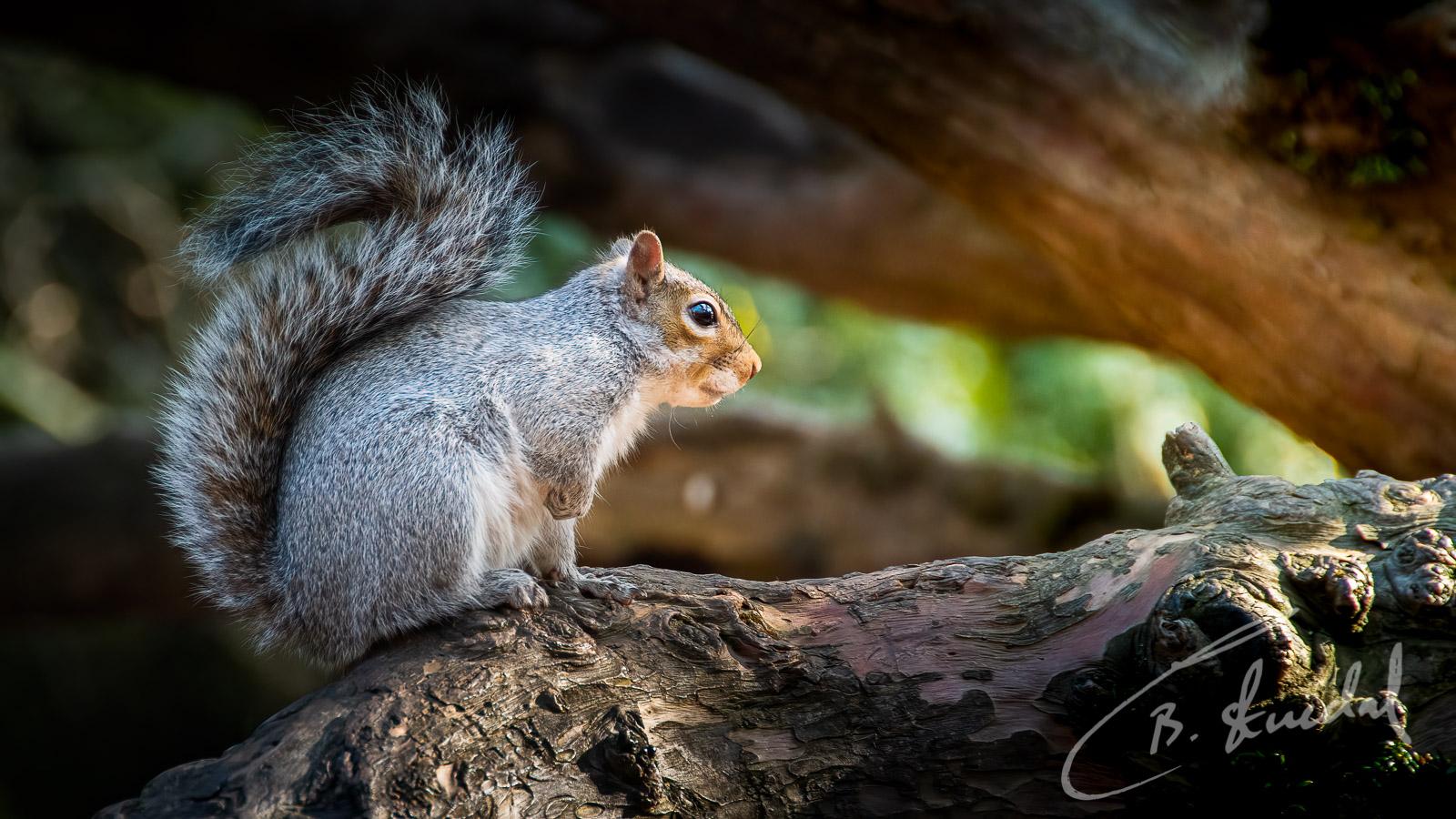 Squirrel in sunset