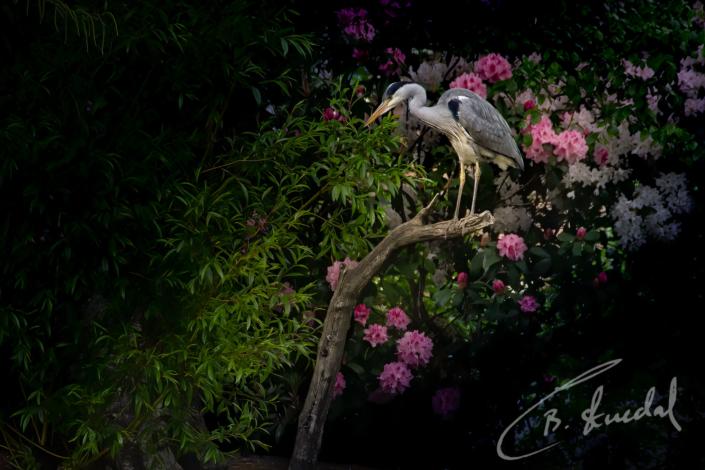 Heron in pink