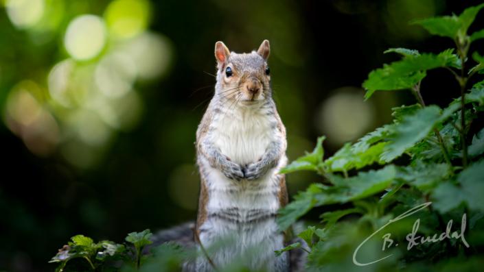 """Merkel"" Squirrel"