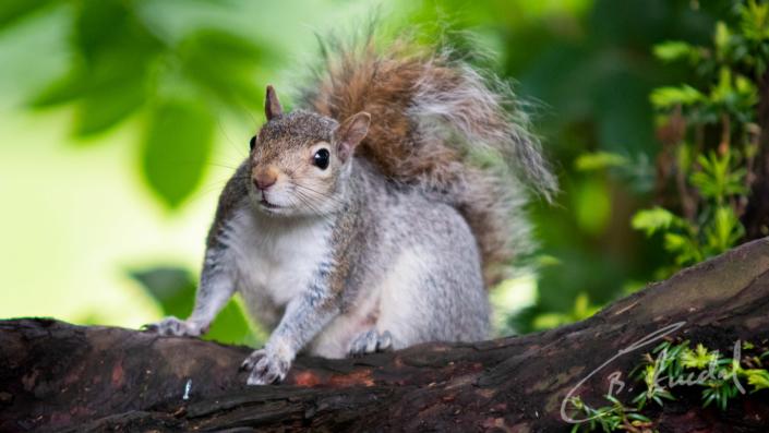 Squirrel mum