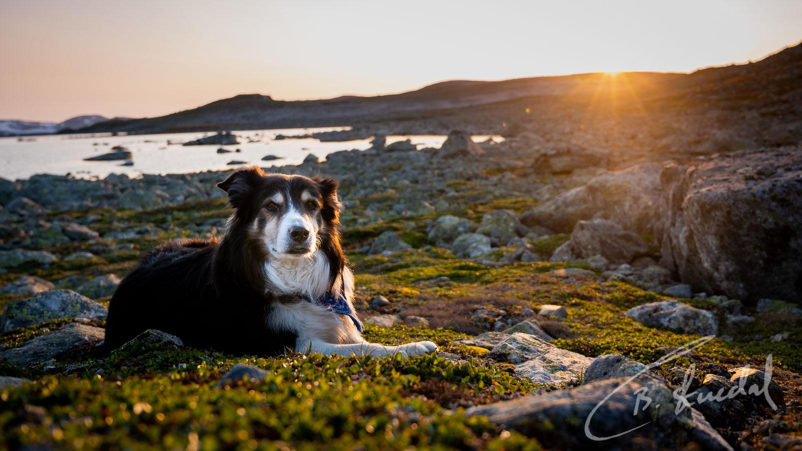 Dog in mountain sunset