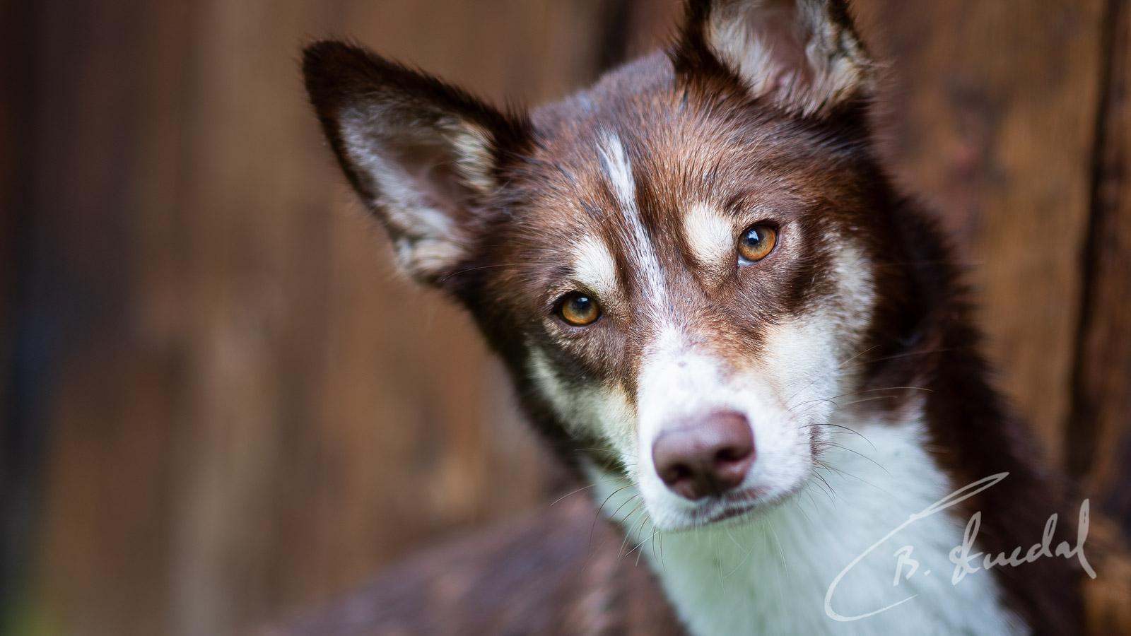 Husky in brown