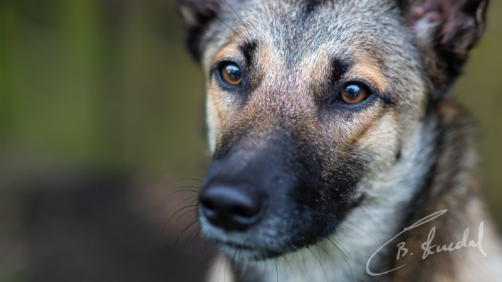 German Shepherd close-up