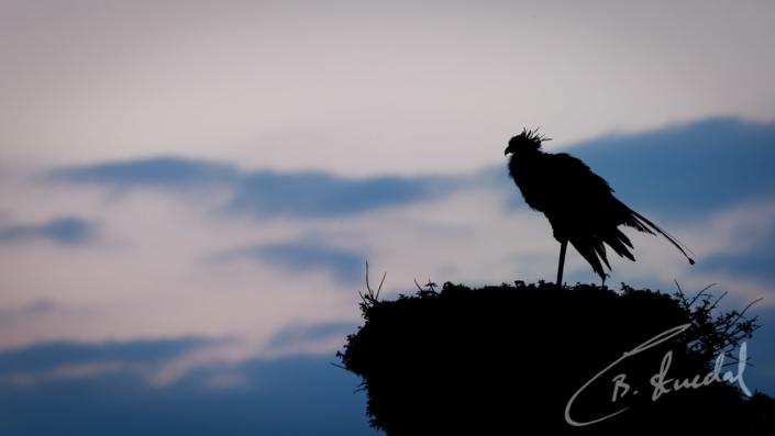 Secretary Bird silhouette