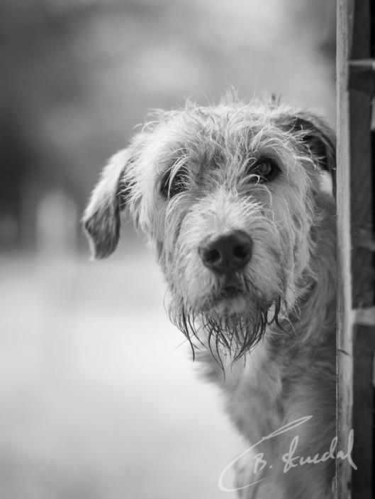 Wolf dog portrait