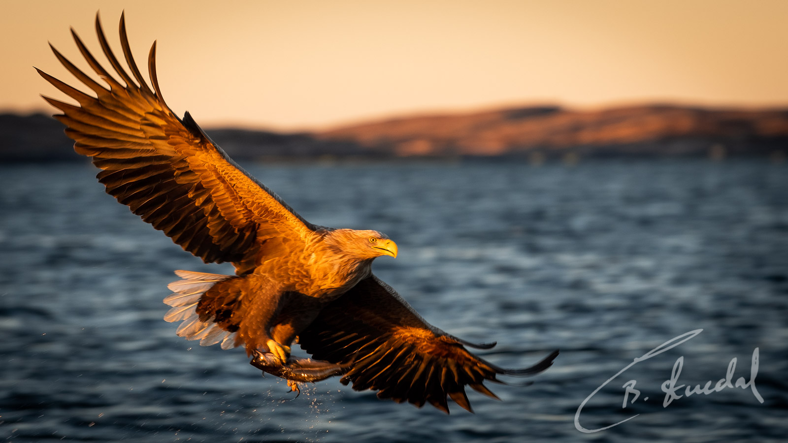 White-tailed eagle in gold