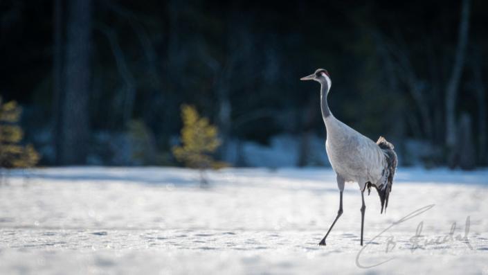 Common crane portrait on snow