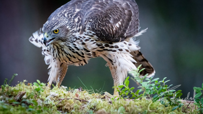 Northern goshawk stand off