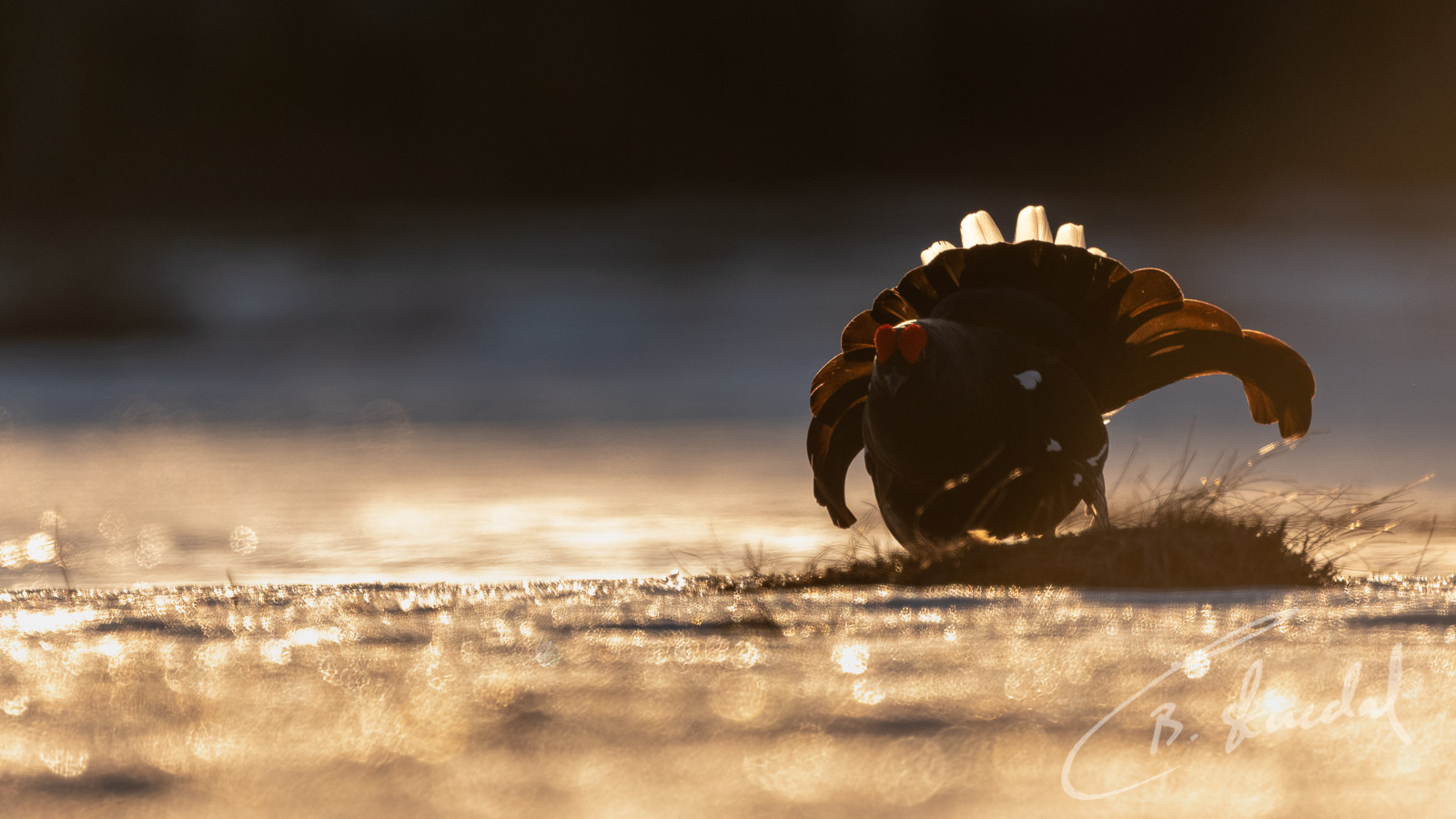 Black grouse in gold