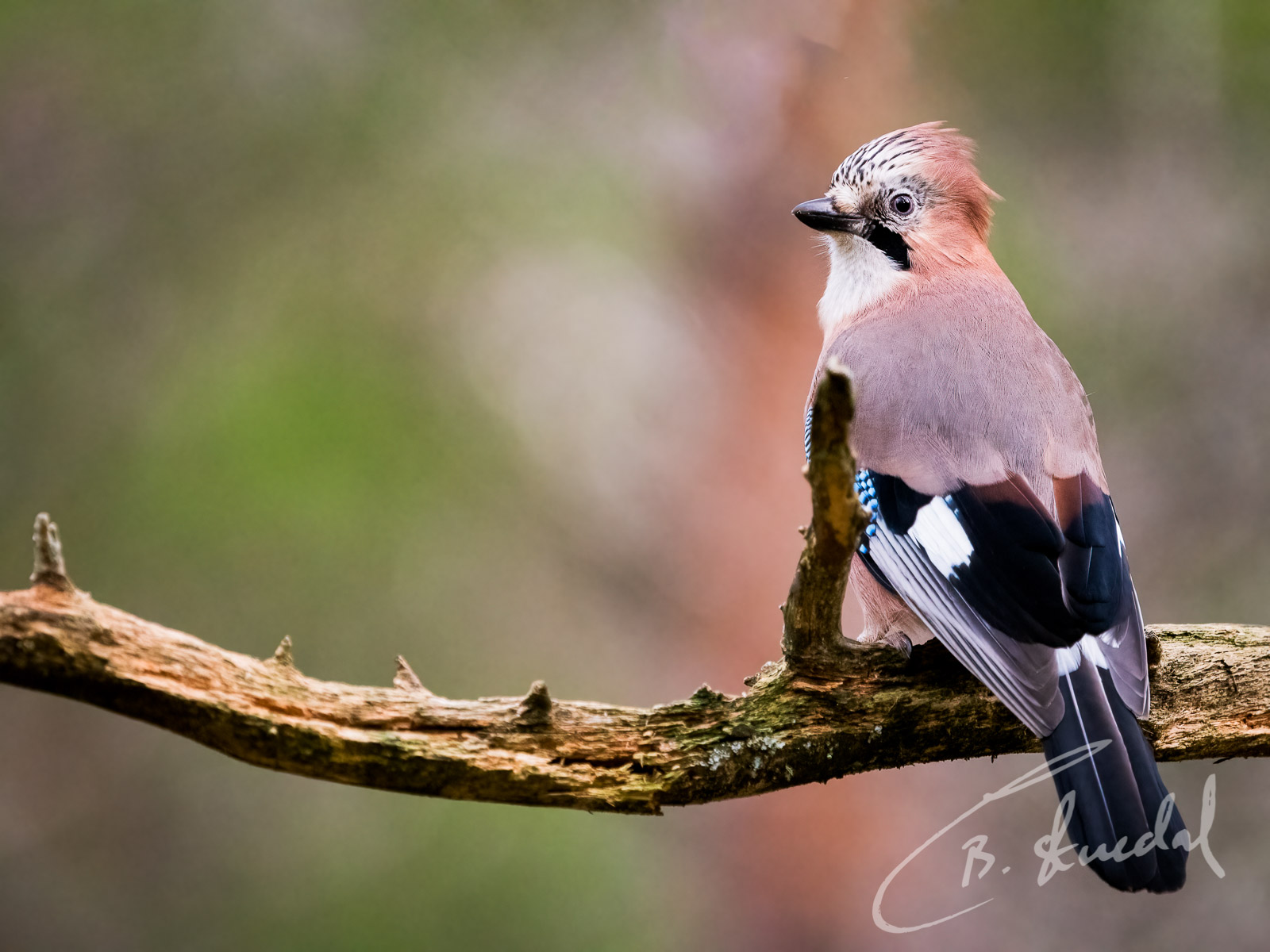 Eurasian Jay in copper and green