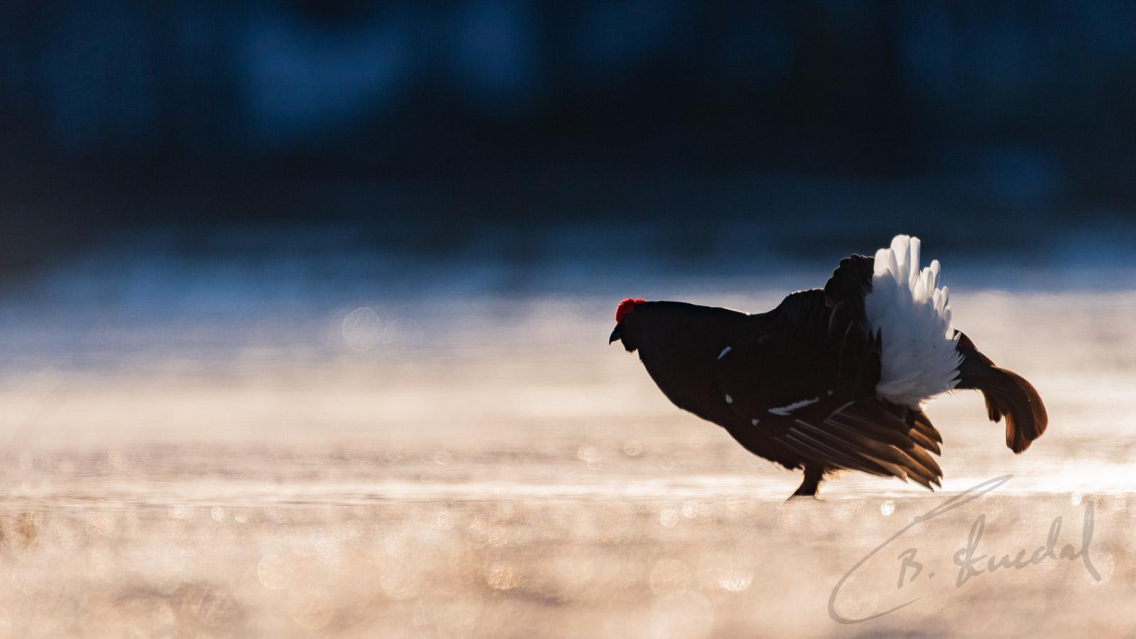 Black grouse at sunrise