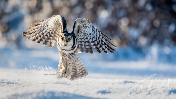 Northern hawk-owl with mouse