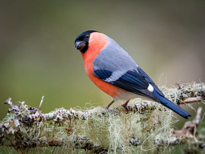Eurasian Bullfinch in green