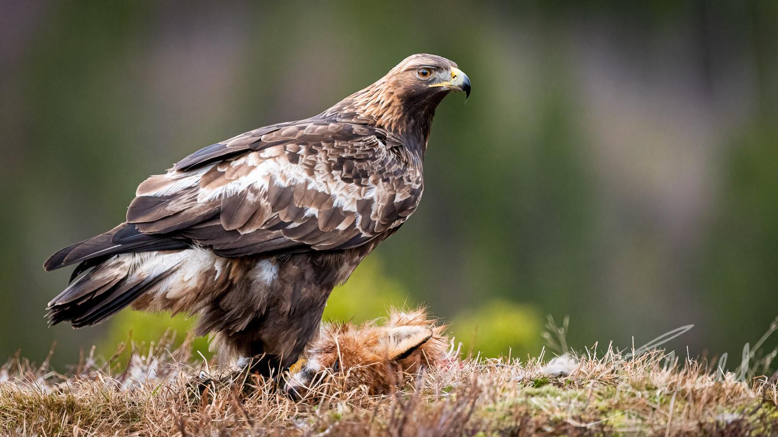 Golden Eagle til guttan