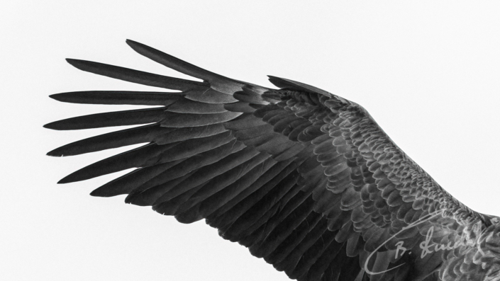 White-tailed eagle wing
